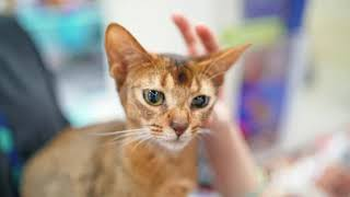 Abyssinian Cat Interesting Facts and Features