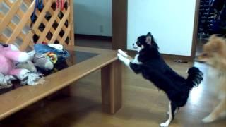 【爆笑注意】テーブルに飛び乗ろうと何度もチャレンジするワンコ