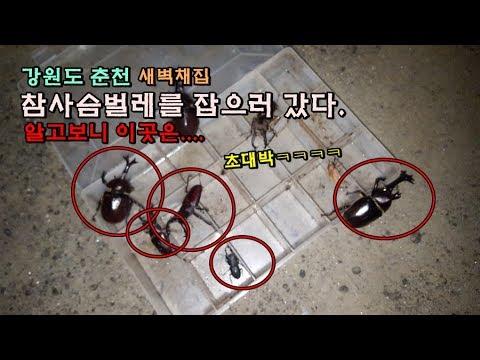 강원도 탐사!! 참사슴벌레를 정복하자 그런데 알고보니..대박....채집기[정브르] / gwangwon-do stagbeetles and a beetle collect