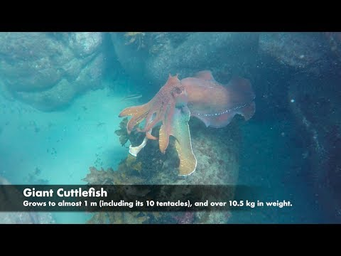Planet Ocean, episode 7: Giant Cuttlefish, in Cabbage Tree Bay, Sydney