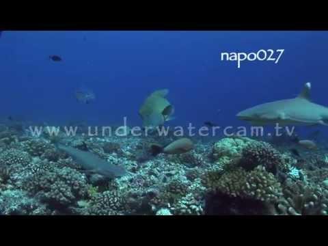 Maori wrasse hunting, stock footage: napo027