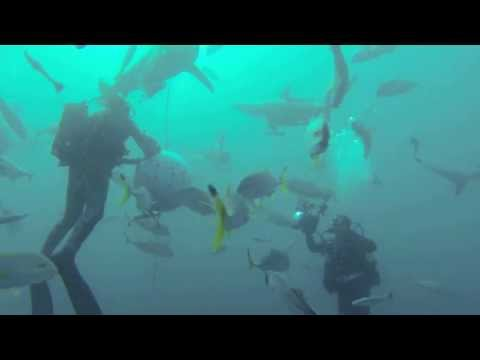 Diving with Oceanic Black Tip Sharks, Umkomaas, South Africa
