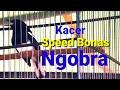 Lomba Burung Kacer Terbaru  Kacer Speed Bonas Juara  Mp3 - Mp4 Download