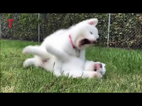 Funniest & Cutest Husky Videos - Funny Dog Compilation #8