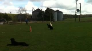 Working Gundogs Training Video Residential Labrador Retrievers