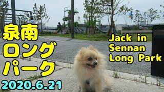 泉南ロングパーク(泉南りんくう公園)に行ってみた ポメラニアン・ジャック pomeranian Jack in Sennan  Long Park