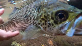 Jp Fishing Far North Queensland Jungle Perch