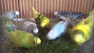 Lovebirds' Sounds Relaxation