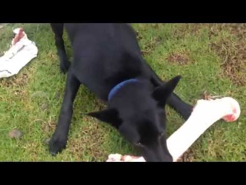 Nox - The Australian Kelpie - 6.5 Months - Angry