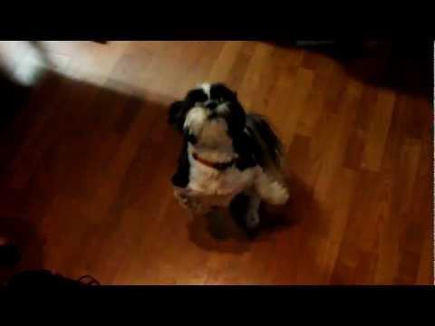 AMAZING dog tricks!!!!! CUTE (HD) Featuring Duke the Dog!!!!!!!!!!!!!!!!!!!! fluffy