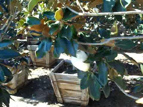 Magnolia Grandiflora Dwarf 24Box.mov