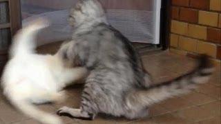 我が家の猫のケンカです。白い方がメスの「しろ」トラの方がオスの「ち...