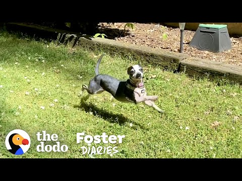 Scared, Shaking Chihuahua Finally Wags Her Tail | The Dodo Foster Diaries