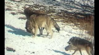 В объективе   животные  Волчья семья