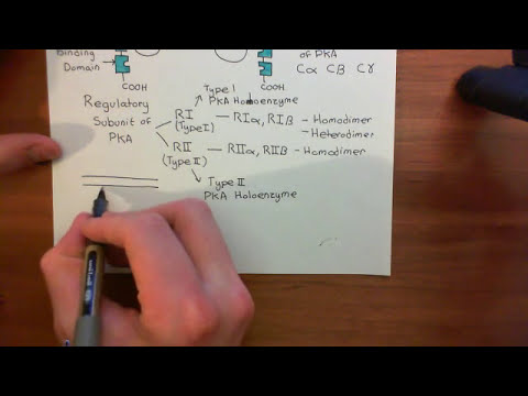 The Adenylyl Cyclase / Protein Kinase A Pathway Part 8