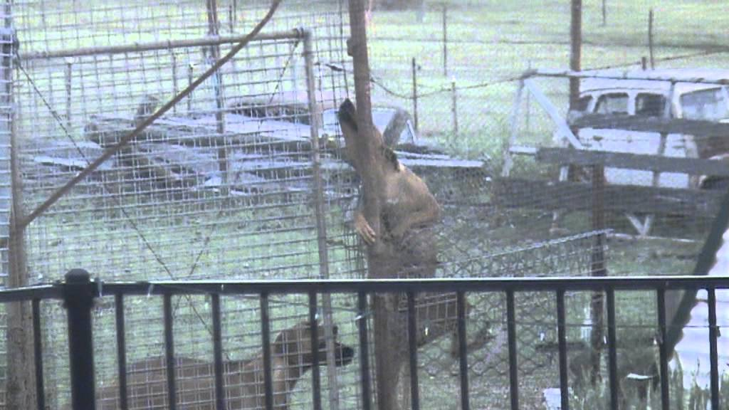 rhodesian ridgeback dog climbing jumping 10 foot tennis court fence