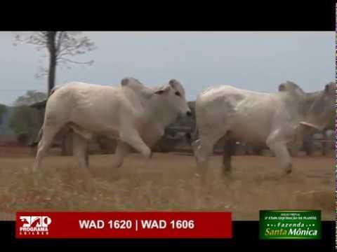 LOTE 64 - WAD 1620 | WAD 1606