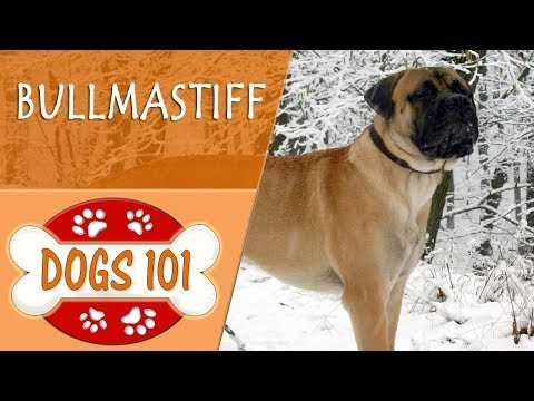 Dogs 101 - BULLMASTIFF - Top Dog Facts About the BULLMASTIFF