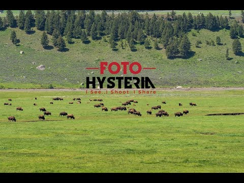 Lamar Valley Bison & Grizzly Bear (Yellowstone NP)