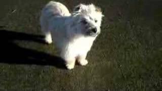 Logan - 1 Yo Cairn Terrier Cairn Rescue Usa (crusa) 1