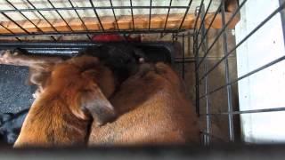 Boxer Female Giving Birth--colorado Akc Boxers- Mavibengal
