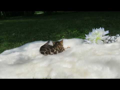Exoticat Bengal 6 weeks old bengal baby girl quality show