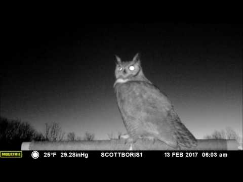 Great Horned Owl male calls in a female for