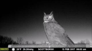 "Great Horned Owl male calls in a female for ""date night"" on the perch, February 2017"