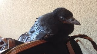 How do you raise a baby crow like our Edgar??