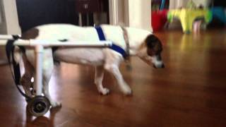 16 Year Old Jack Russell Terrier With Homemade Dog Wheel Chair
