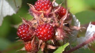 Rubus phoenicolasius video