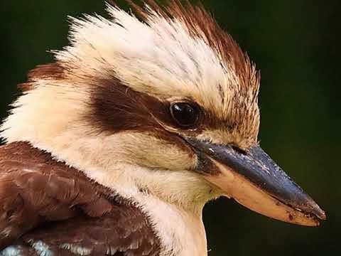 Как кричит птица кукабарра