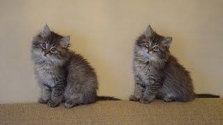 Котята против лисят!!!