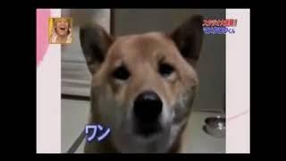 Смешная Собака Акитаино