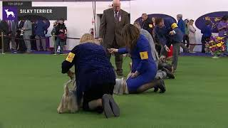 Silky Terriers | Breed Judging 2020