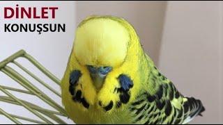 Konuşturan muhabbet kuşu Fıstık #dinletkonuşsun