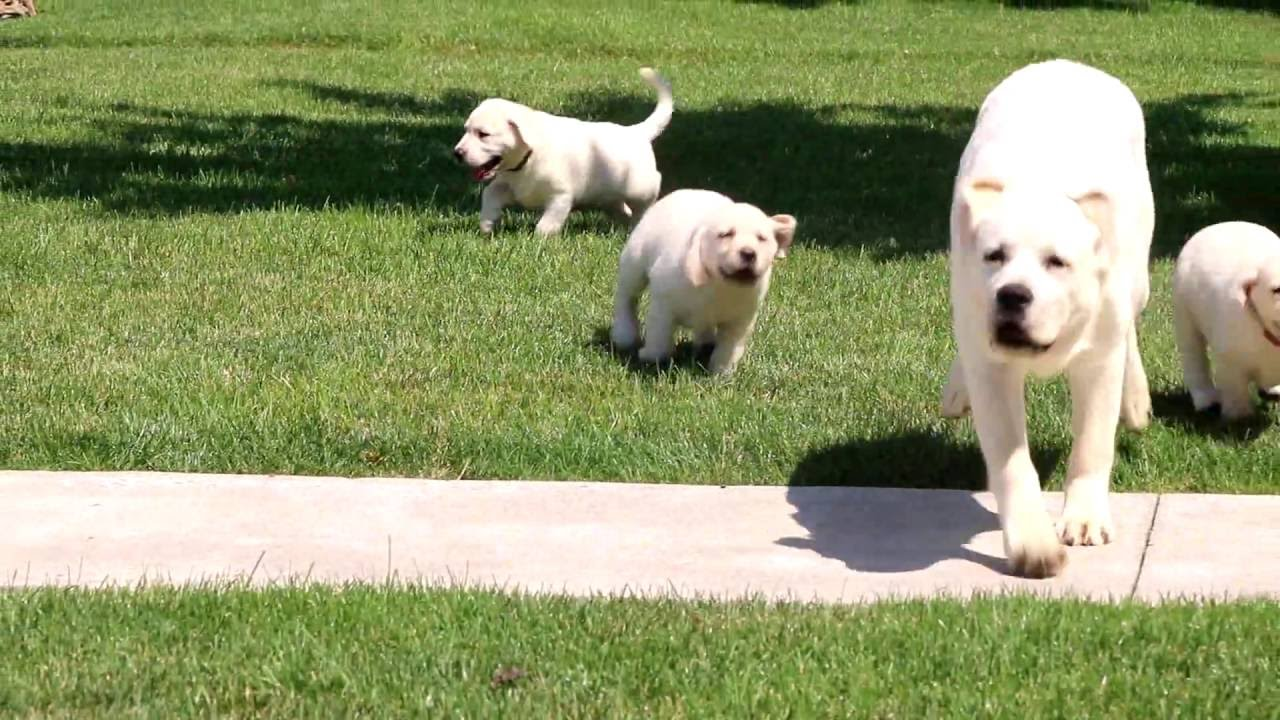 English Cream Lab Puppies For Sale Youtube