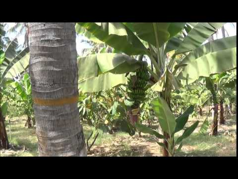 Intercropping in coconut plantation_Tiptur