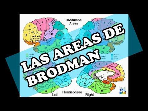Areas de Brodman