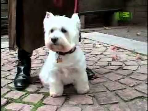 Dog Breeds 101 Video: West Highland White Terrier