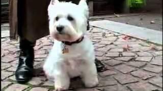 Dog Breeds 101 Video: West Highland White Terrier