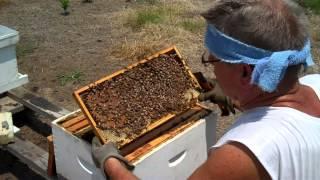 How to find the Queen, Honey Bee Queen