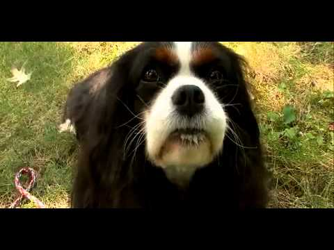 Dogs 101 - Cavalier King Charles Spaniel