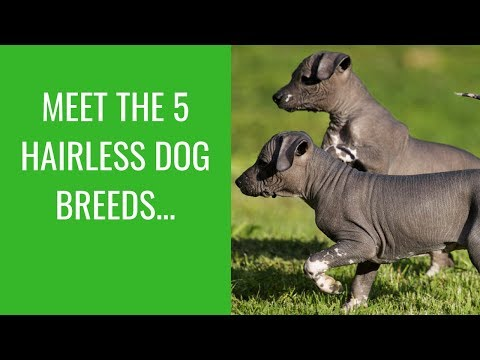 Meet The 5 Hairless Dog Breeds