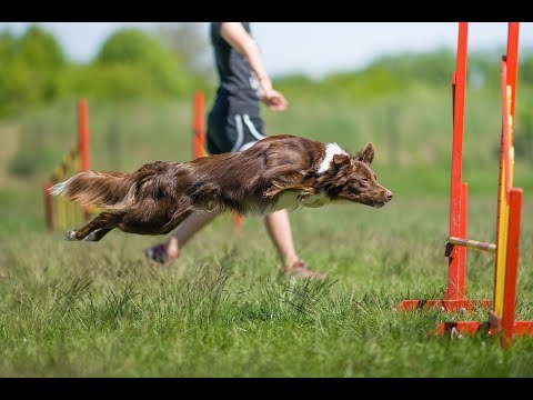 Rask - 12 months border collie