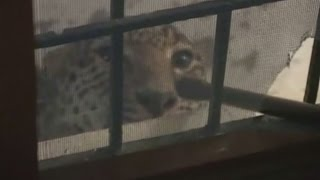 Leopard caught roaming residential area in India