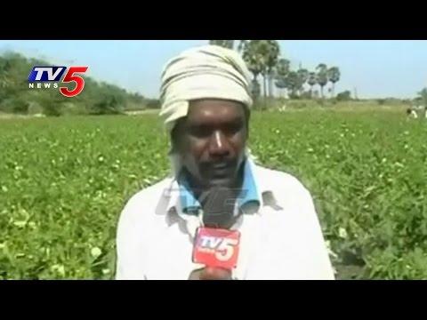 Tenali Farmers Facing Losses With Fake Seeds | Lady Finger(Okra) | Annapurna | TV5 News