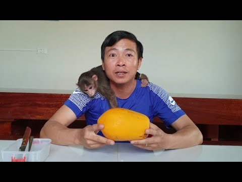 Baby Monkey | Doo Eats Papaya With His Daddy