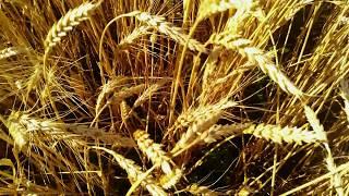 Огромное поле спелой пшеницы в 4к ,крупный план, красивая природа в HD
