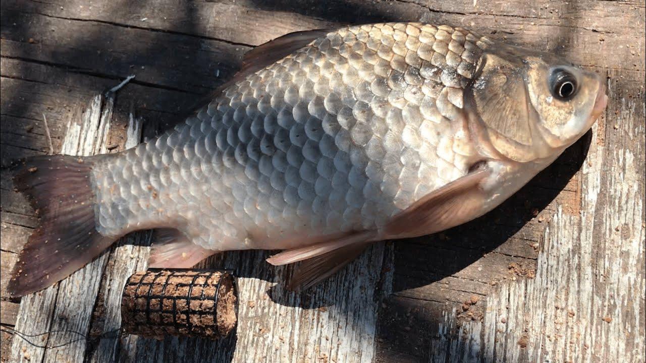 Фидерная рыбалка на карася | ловля крупного карася на фидер | фидер для начинающих | рыбалка 2020